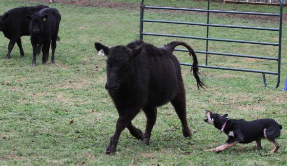bad cow centerline
