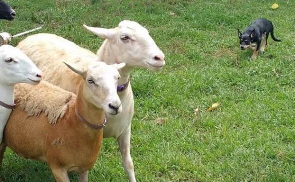 Kiah stalking sheep